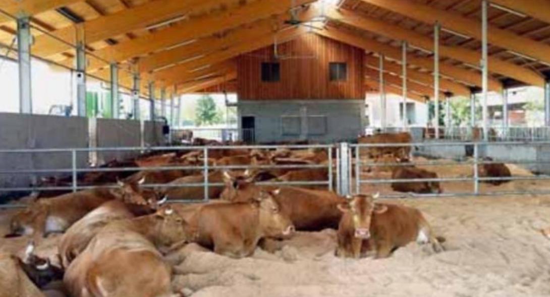 Il benessere animale del bovino da carne